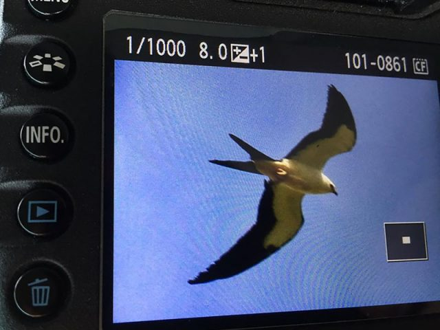 Phil Plank's exciting find—A Swallow-tailed Kite over Flower Mound, Texas.