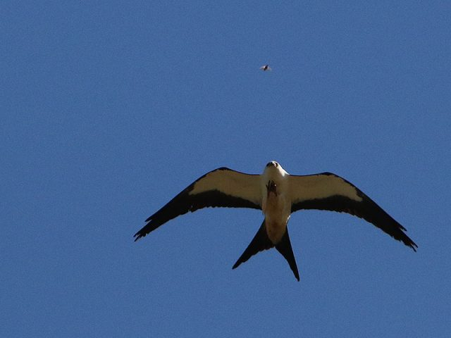 swallow-tailedkite01