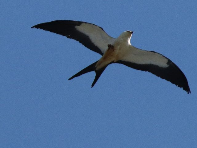 swallow-tailedkite02