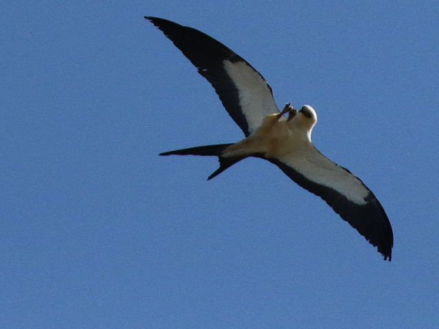 swallow-tailedkite03