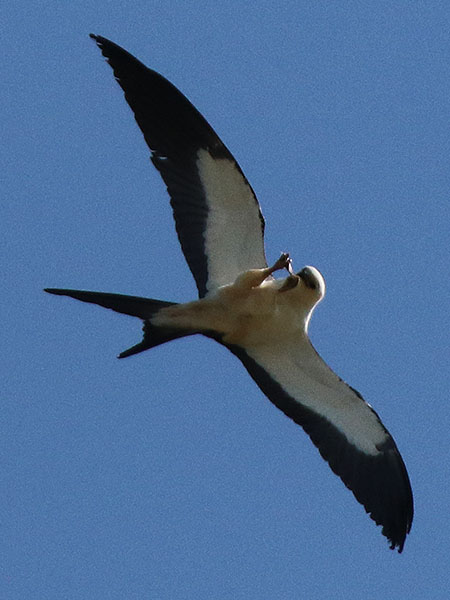 swallow-tailedkite04