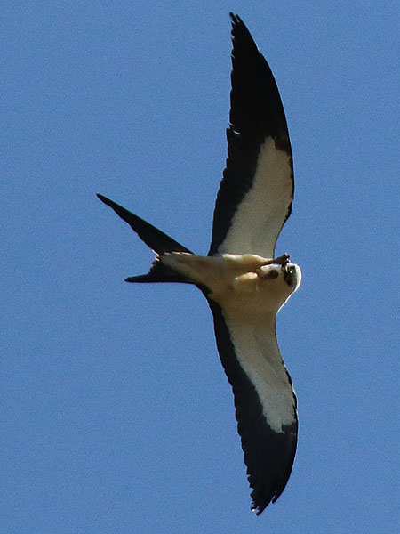 swallow-tailedkite05