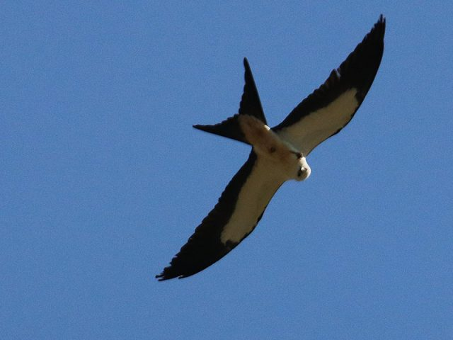 swallow-tailedkite06