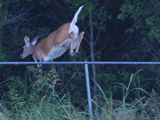 White-tailed Deer&mkdash;Lewisville, Texas.