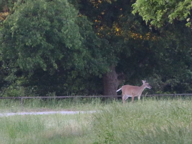White-tailed Deer—Hickory Creek, Texas.