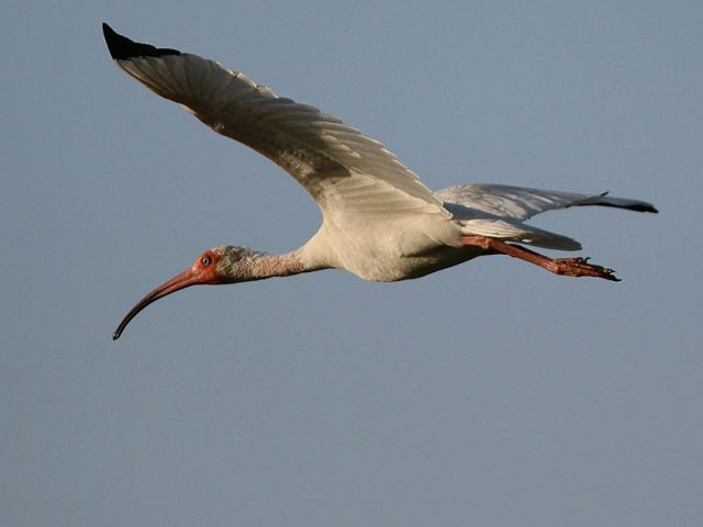 White Ibis—Dallas, Texas.