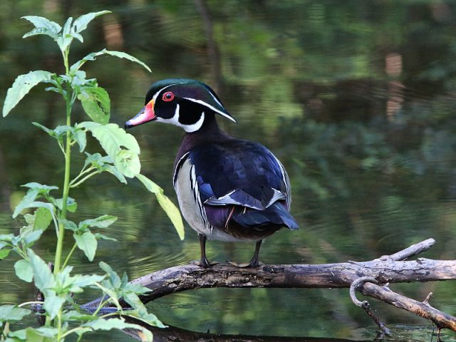 A male Wood Duck in Richardson, Texas...