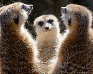 The Meerkat Choir