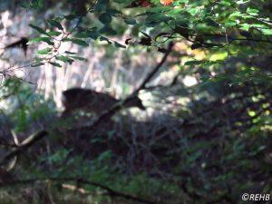 roe-deer