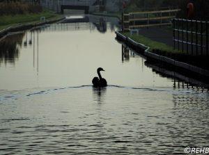 swan-4