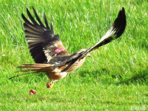 red-kites-5