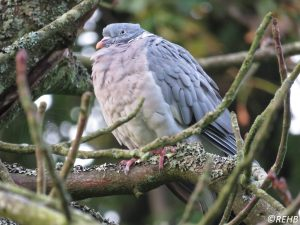 Common Wood-Pigeon