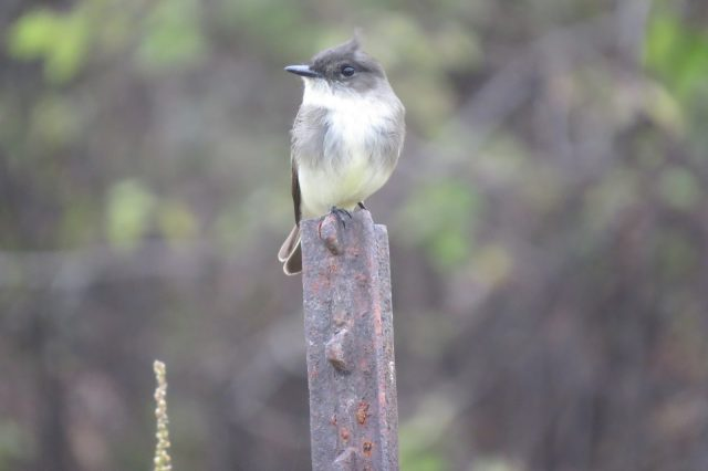 Eastern phoebe, just being cute.
