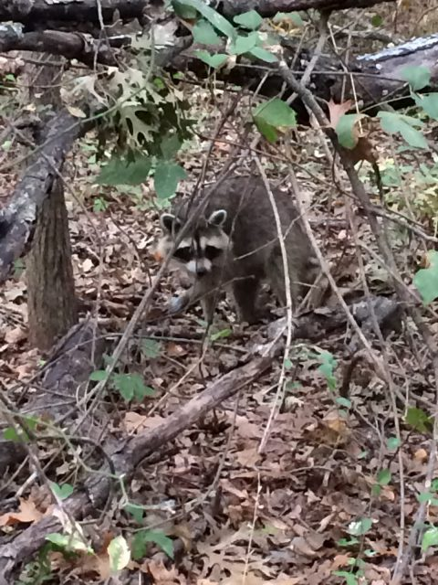 Hey, raccoon! Move closer to the trail just a bit  so I can get a better picture!