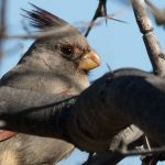 "How Do You Pronounce the Word ""Pyrrhuloxia?"""