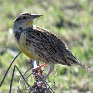 Video – Bird Sounds – DFW Urban Wildlife