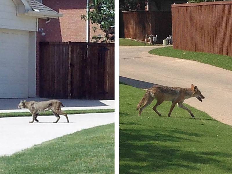 Are There Coyotes And Bobcats In Your