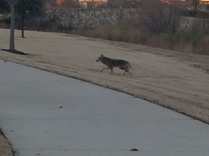 Are there Coyotes and Bobcats in YOUR Neighborhood? – DFW Urban Wildlife