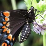 Video - Black Swallowtail Life Cycle - UPDATED
