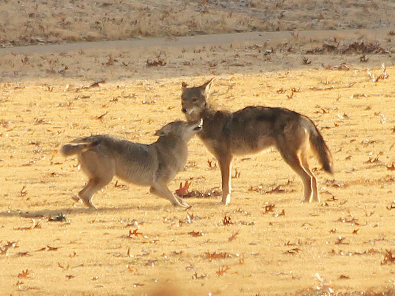 Are there Coyotes and Bobcats in YOUR Neighborhood? – DFW