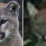 North Texas Mountain Lion: Is It or Isn't it?
