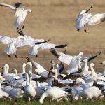 Snow Geese Galore